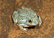 A plains spadefoot toad sitting on the road