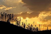 Burned trees silhouetted on ridge at sunset
