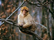 Barbary Macaque _ sitting on branch / Macaca sylvana