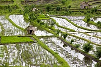 Deserted rice fields and little huts, Bali, Indonesia