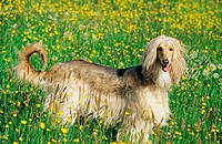 Afghan hound _ standing in flower meadow