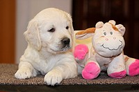 Golden Retriever puppy with cuddly toy