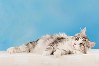 Maine Coon cat _ lying _ cut out