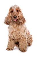 Cocker Spaniel dog _ sitting _ cut out