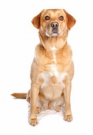 Labrador Retriever dog _ sitting _ cut out