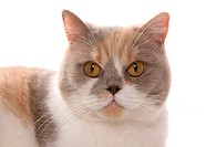 British Shorthair cat _ portrait _ cut out