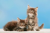 Maine Coon cat _ two kittens _ cut out