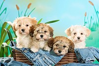 Havanese dog _ four puppies in basket