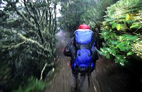 Trekker on the Kepler Track at the forest in the rain, Fiordland National Park, South Island, New Zealand, Oceania