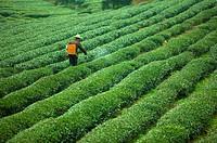 Asia, China, Fujian, UNESCO, World Cultural Heritage, World Natural Heritage, Wuyi Mountain, Tea garden