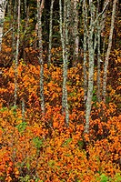 Yellow birch tree trunks with autumn foliage understory