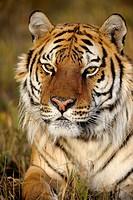 Siberian tiger Panthera tigris altaica- captive