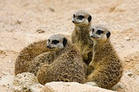 Meerkat Suricata suricatta family group, controlled conditions