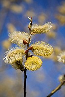 Close-up of Smith Willow tree flower blossoms at springtime, Montreal Botanical Garden, Quebec, Canada