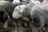 Flock of Herdwick Sheep