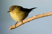 Chiffchaff (Phylloscopus collibita)