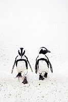 Penguins walking on the beach South Africa.
