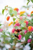 Butterflies on flowers Sweden.