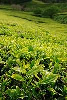 The tea gardens of Gorreana, and closeup of tea leaves  Azores islands