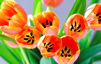 Close_up of bunch of tulips