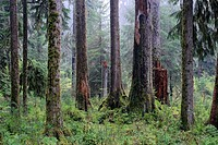 USA, Washington, Olympic National Park, Hoh Rainforest