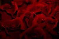 Flowers, Red Roses, São Paulo, Brazil