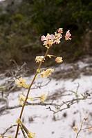 Orchid, São Gonçalo do Rio Preto, Minas Gerais, Brazil