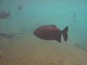 Fish, Pacu, Piaractus mesopotamicus, Bonito, Mato Grosso do Sul, Brazil