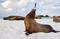 Galapagos sea lion Zalophus wollebaeki pup with feather in the Galapagos Island Group, Ecuador  Pacific Ocean