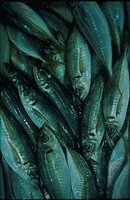 Full Frame of Horse Mackerel