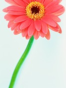 Gerbera daisy, close up, white background
