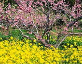 Oilseed rape blossoms and peach blossoms, Fukushima Prefecture, Honshu, Japan