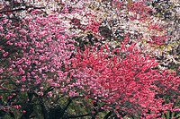 Blossoming peach tree, Gifu Prefecture, Japan