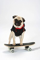 Pug with pullover, on skateboard