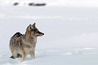 Coyote, Canis latrans, wolf, winter, snow, cold, nature, animal