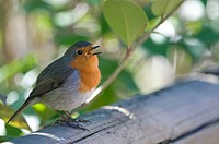 Robin, singing, Erithacus rubecula, sitting, outdoors, singing, branch, portrait, nature, animal, bird, birds, summer