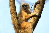 Golden Langur Trachypithecus geei in Assam, India