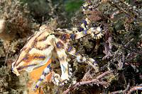 the blue ringed octopus is one of the most deadly animals in the world
