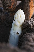 White asparagus in the soil