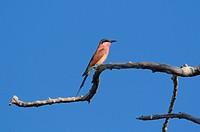 Carmine Bee_eater, Merops nubicoides, Lianshulu Lodge, Mudumu, National Park, Caprivi, Namibia, Africa, Travel, Nature