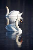 mute swans cygnus olor swimming on a lake in county down Northern Ireland UK