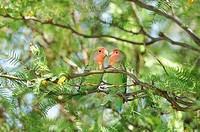 Rosy_faced Lovebird, Agapornis roseicollis, Bird, Quiver Tree Restcamp, Keetmanshoop, Karas Region, Namibia, Africa, Travel, Nature