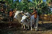Cuba, Guantanamo Province, Baracoa, Alejandro de Humboldt National Park listed as World Heritage by UNESCO, Cuban peasants with their ox
