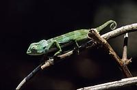 Tanzania, Zanzibar Archipelago, Unguja island Zanzibar, near Jozani forest, Zala Zanzibar Land Animal Park, chameleon