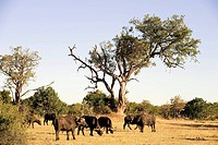 Botswana, district North_west, Chobe National Park, Buffalo
