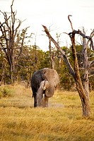 Botswana, North_west district, Moremi park, elephant or elephantidae