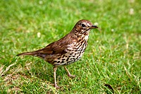 A friendly song thrush in an English garden.