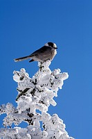 Canada, Quebec Province, Estrie Region, Mont Megantic National Park, grey jay bird on a snow covered tree