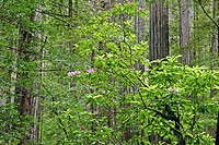 Rhododendrons bloom in the spring in Prairie Creek Redwoods State Park in California