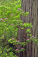 Rhododendrons bloom in the spring in Prairie Creek Redwoods State Park, California
